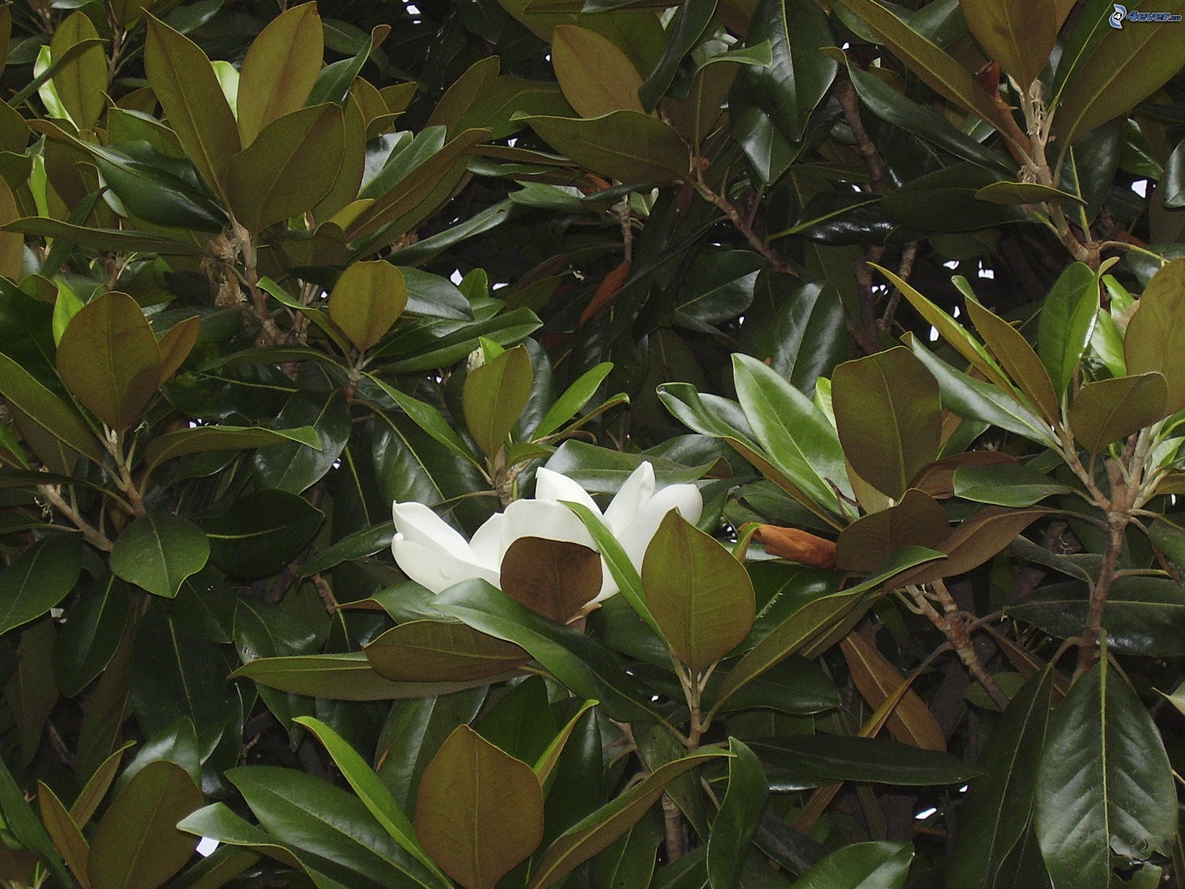 magnolie. Black Bedroom Furniture Sets. Home Design Ideas