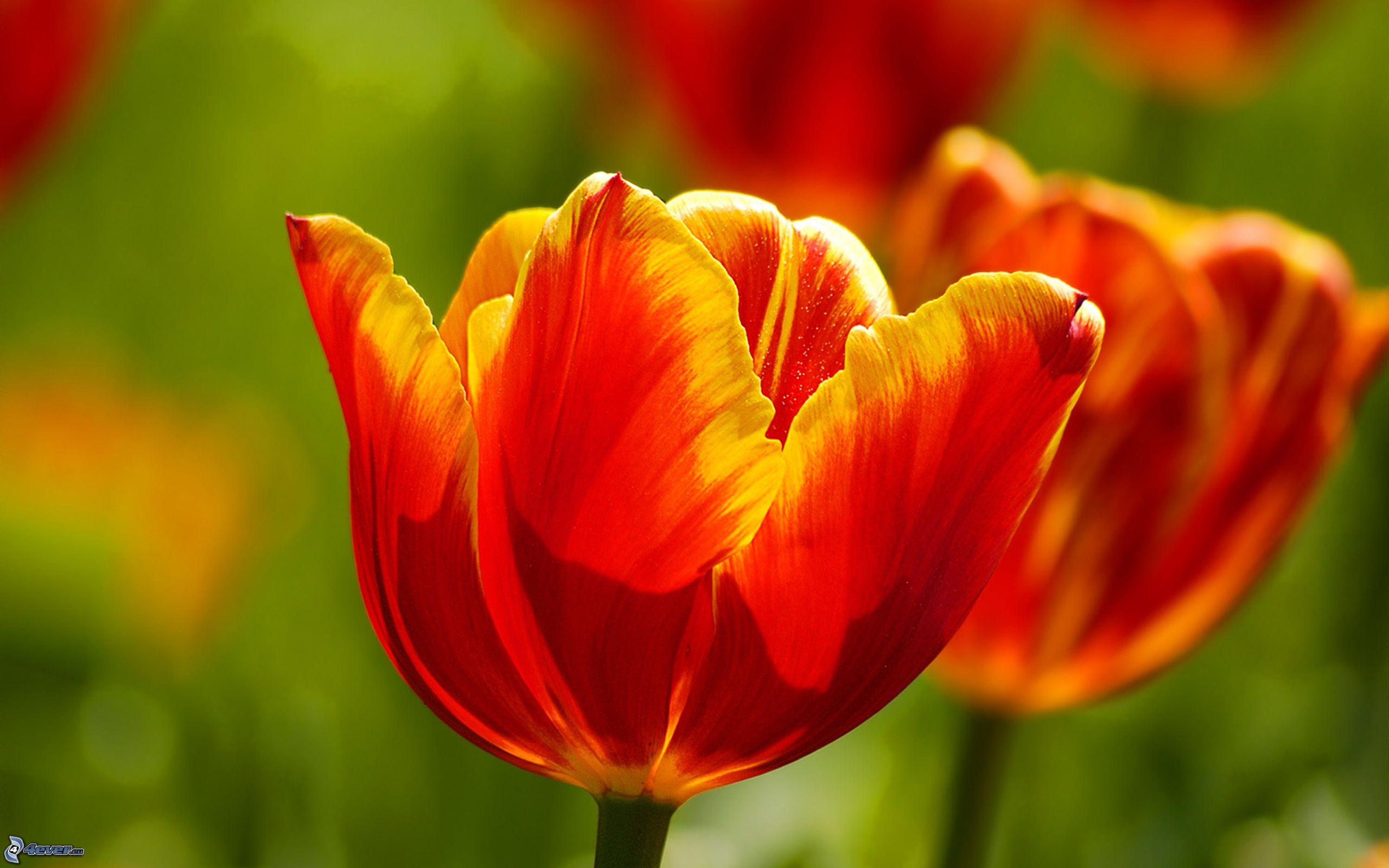 Rot gelbe tulpen
