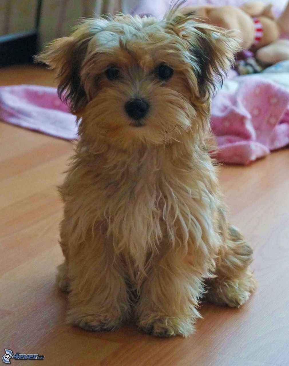 Havanese Dogs For Sale Uk