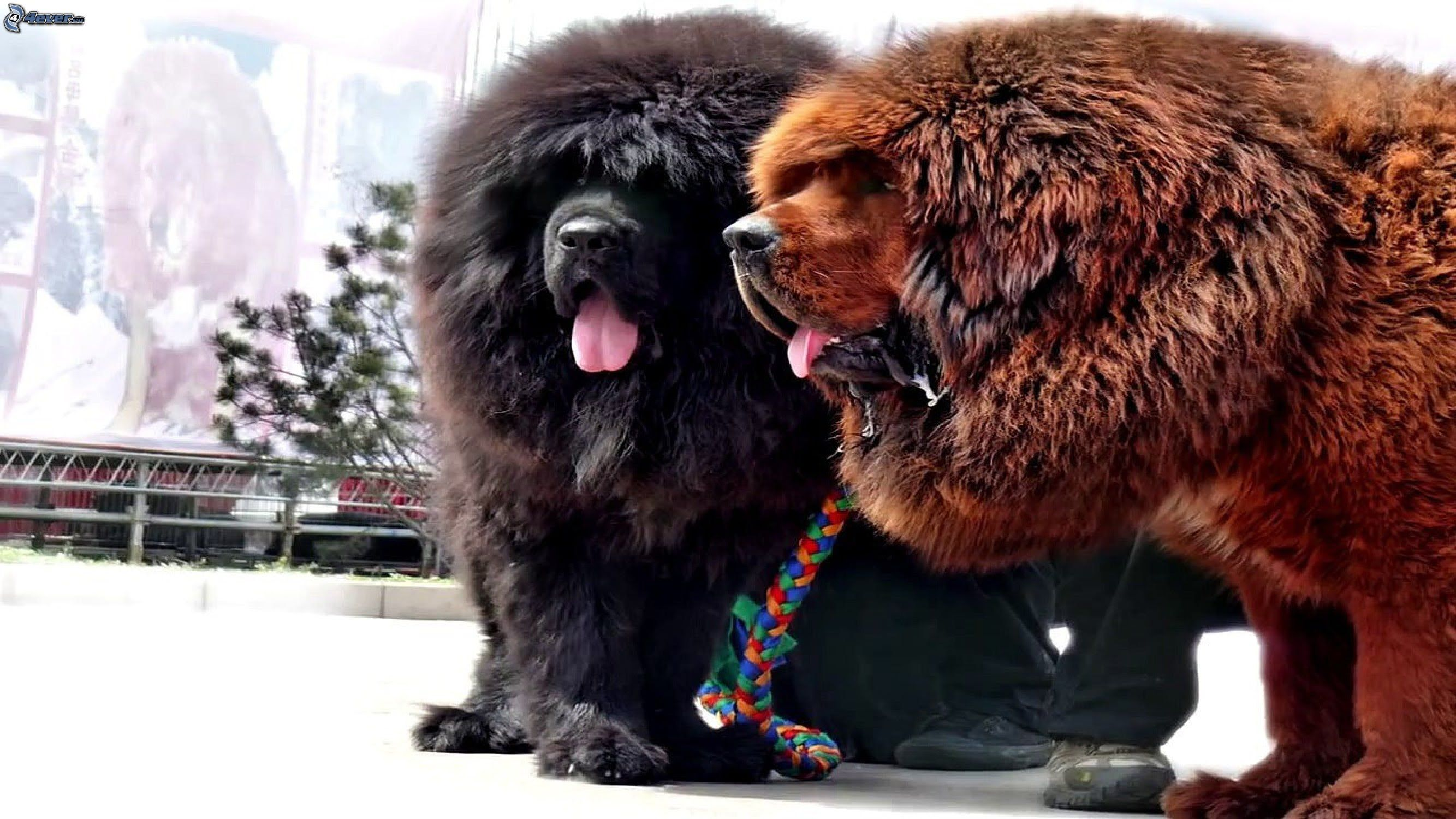 Biggest Dog Breeds Pictures