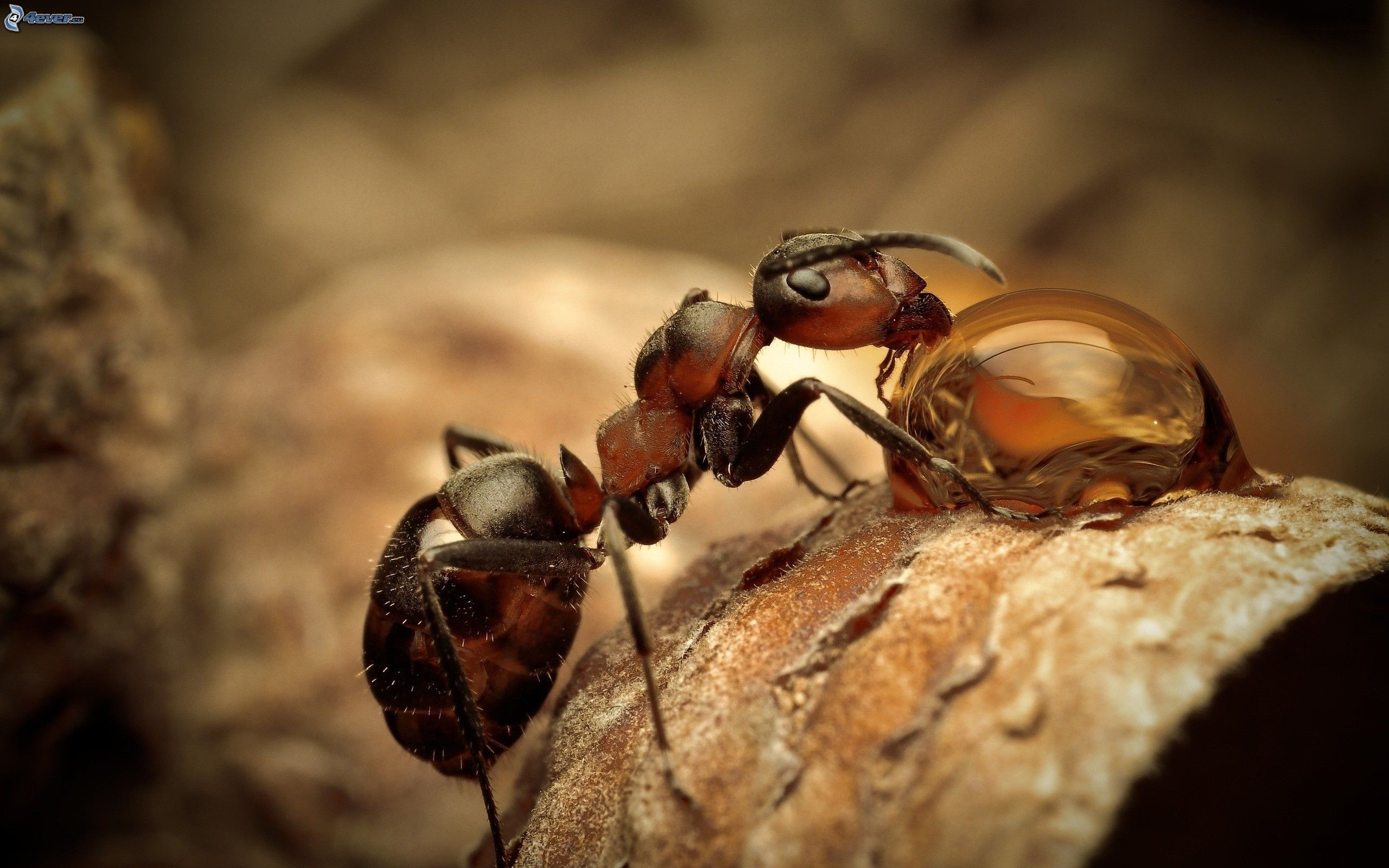 ant macro photography wallpaper - photo #12