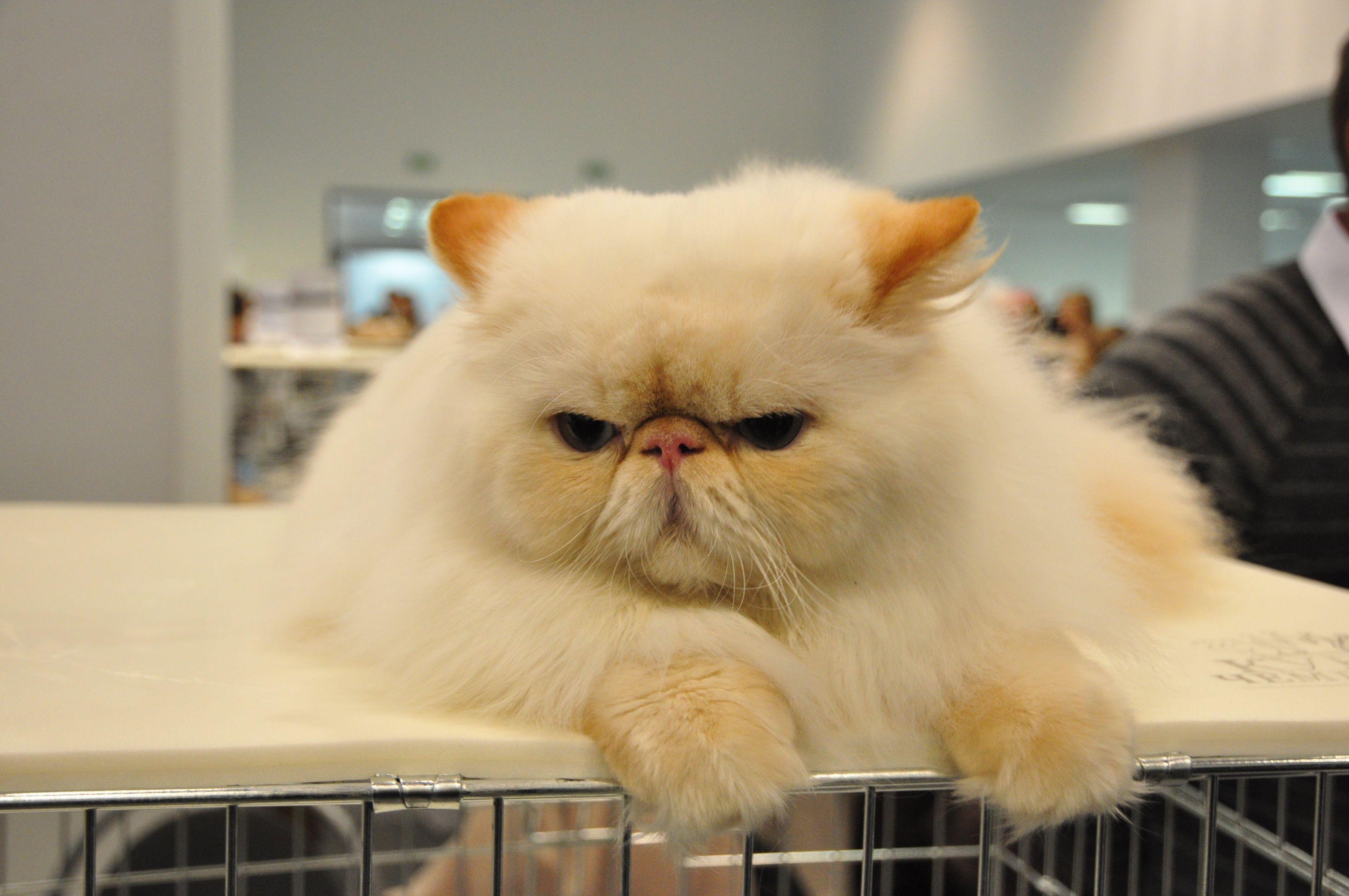 Funny Cat No Copyright