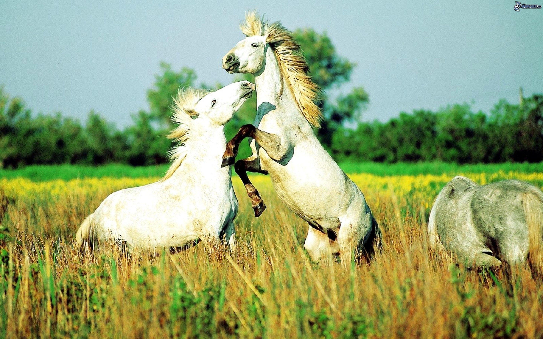 Weise Pferde