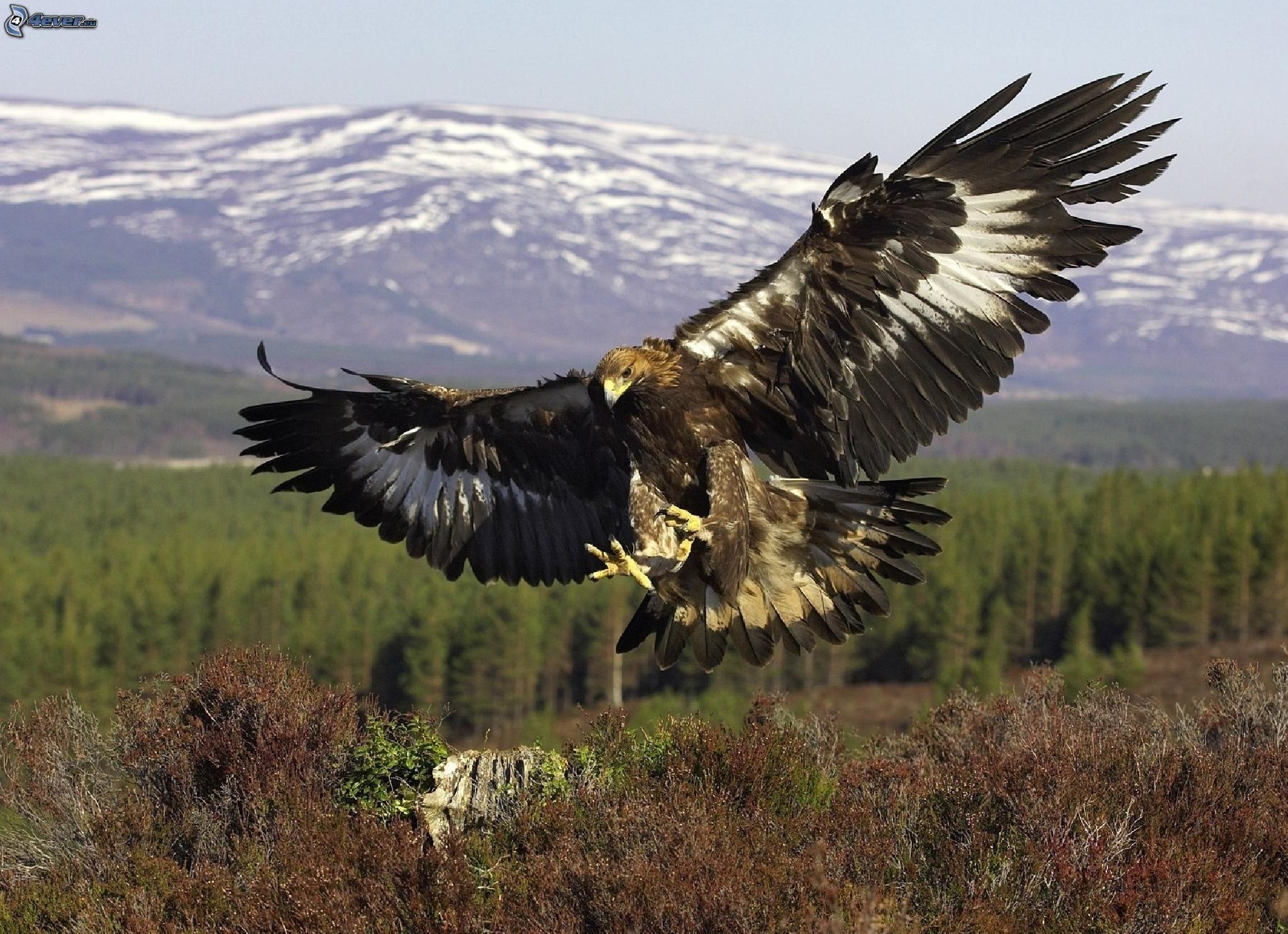 Adler for Gold bird wallpaper