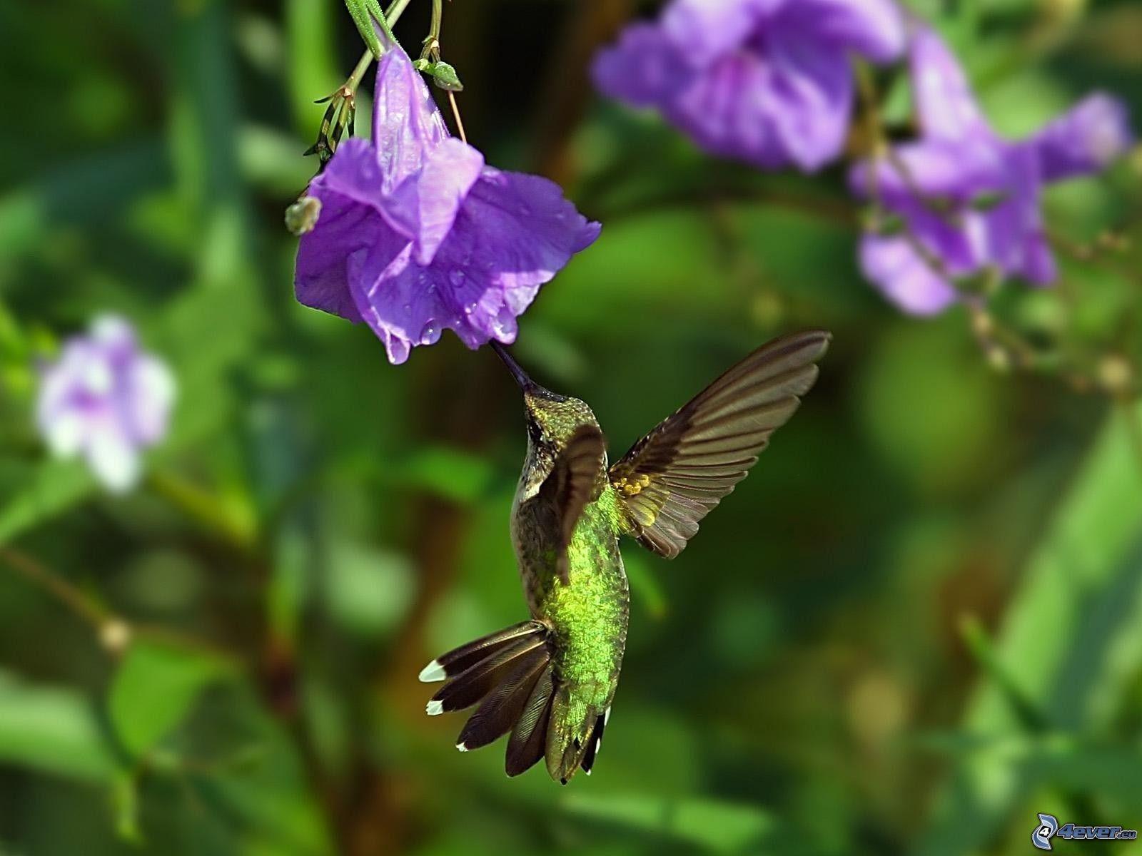 Kolibri - Animal and bird hd wallpaper ...