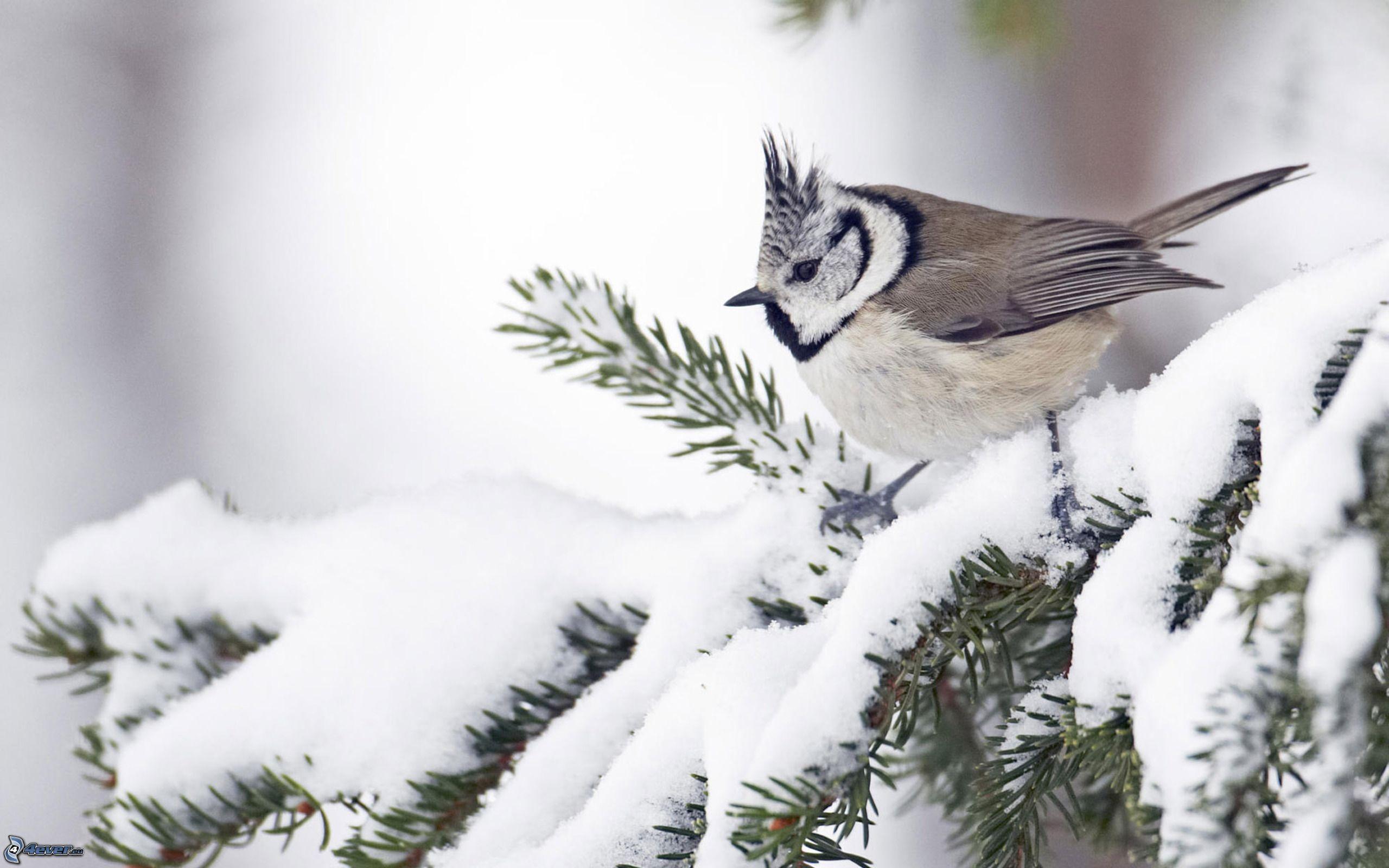 Птицы зимой картинки синицы