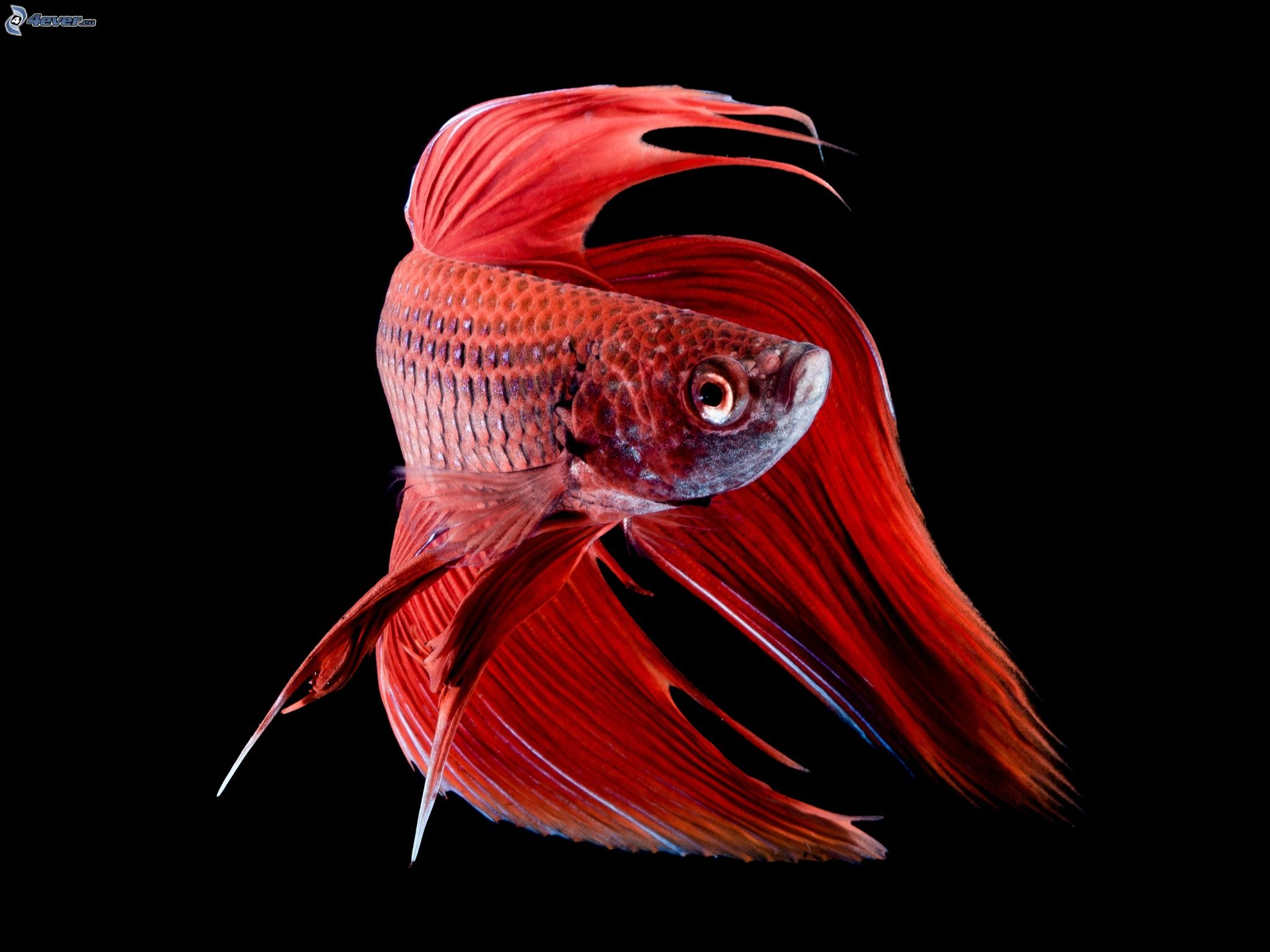 rote fisch