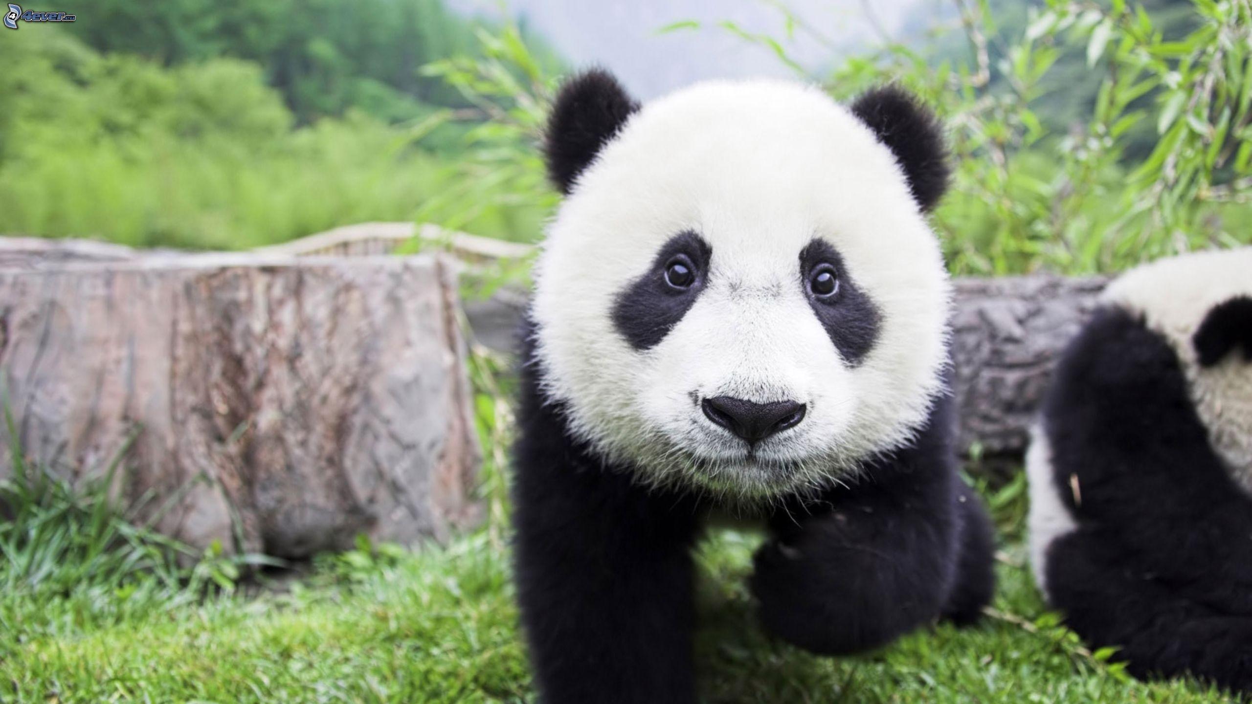 panda informationen