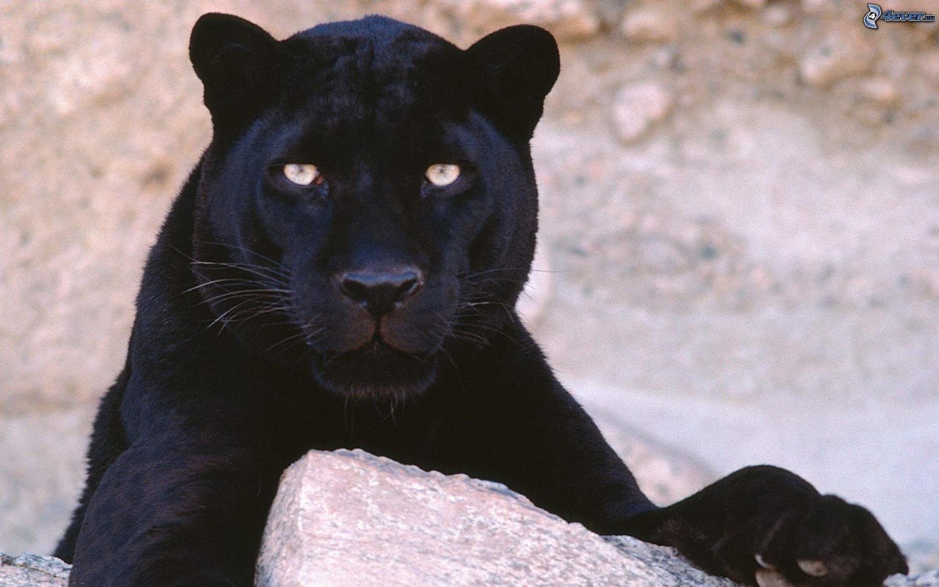 schwarzer puma bedeutung